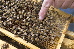 Joel White points out the queen bee. -- Michelle Morrow   The Ledger