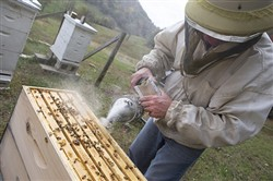 Joel White uses smoke to calm the bees before checking on the colonies. -- Michelle Morrow | The Ledger