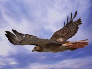 red-tail-hawk-flight